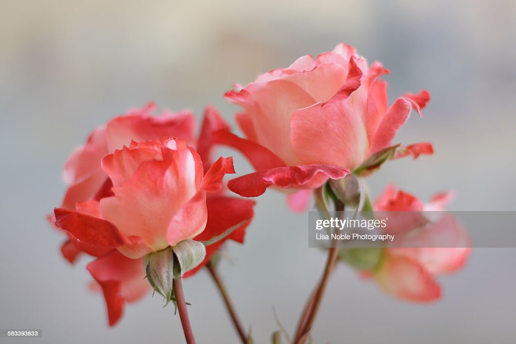 Red and cream colored roses : Stock Photo