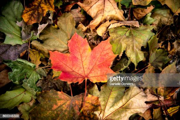 Red and gold maple leaf in autumn