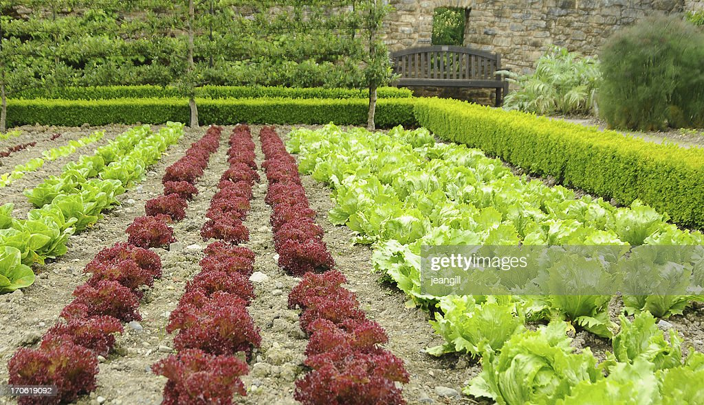 red and green lettuce in formal garden : Stock Photo