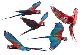 Red and green macaw flying i