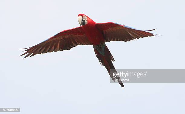 Red and green Macaw In Flight