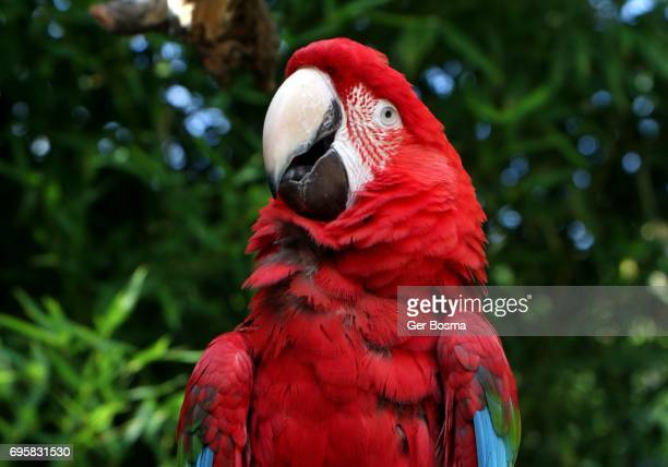 Red and Green Macaw Poser