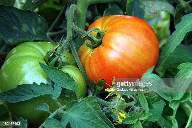Red and Green Organic Tomatoes on theVine
