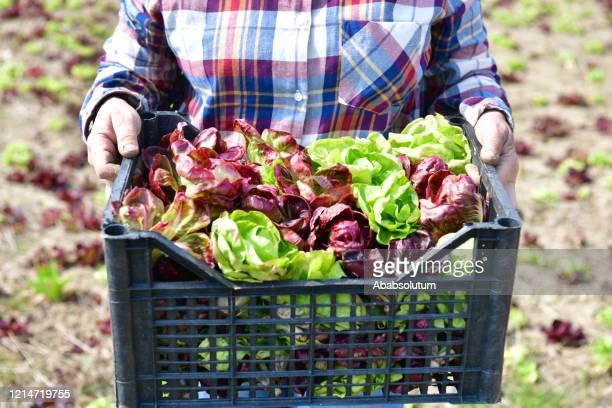 raccolta radicchio rosso e verde in europa - catalogna foto e immagini stock