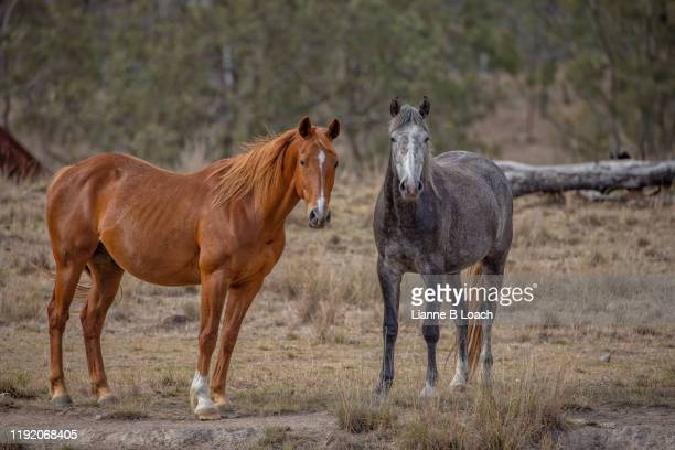 red and grey horses - lianne loach stock pictures, royalty-free photos & images