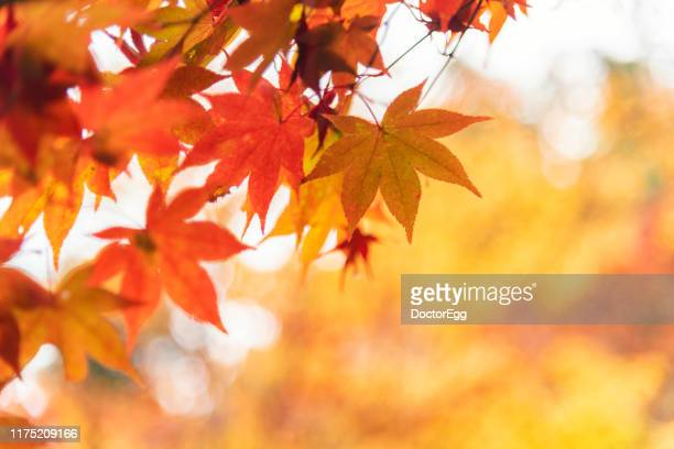 red and orange maple leaves in autumn, kyoto, japan - herfst stockfoto's en -beelden