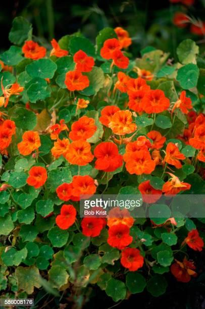 red and orange nasturtiums - nasturtium stock pictures, royalty-free photos & images