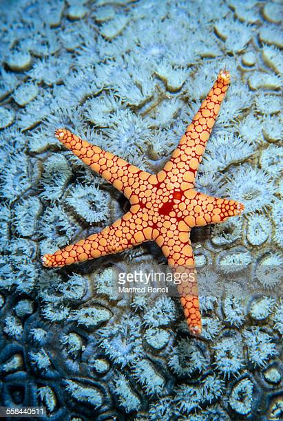 red and orange starfish on a white coral - invertebrate stock photos and pictures