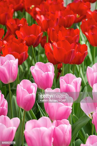red and pink tulips in the park - hillerod stock pictures, royalty-free photos & images