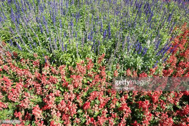 Red and purple salvia.