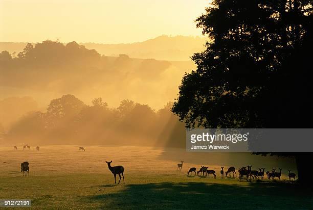 Red and sika deer at dawn