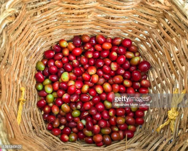 red and some green organic coffee fruits harvest as background in jardin, antioquia / colombia - colombia land stockfoto's en -beelden