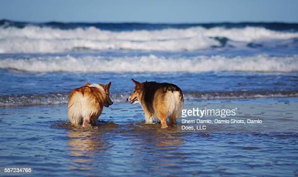 red- and tri-colored corgis in the ocean - damlo does foto e immagini stock