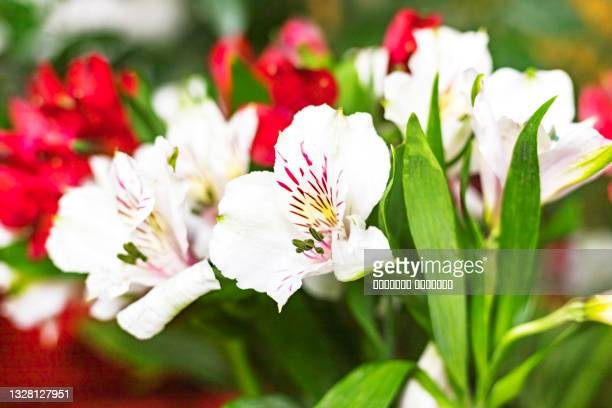red and white alstroemeria flowers bouquet greeting background concept. close up. copy space. - funeral stock pictures, royalty-free photos & images