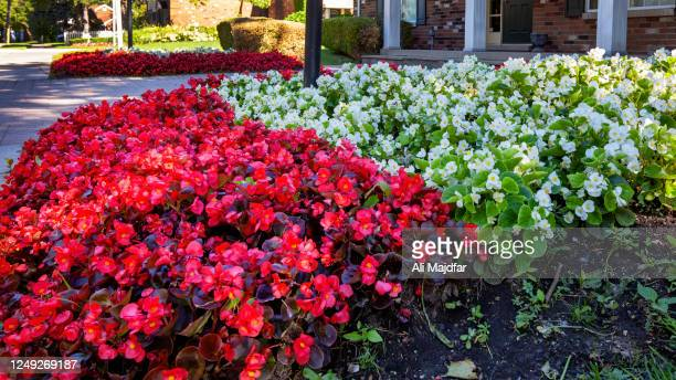 red and white begonia - begonia stock pictures, royalty-free photos & images
