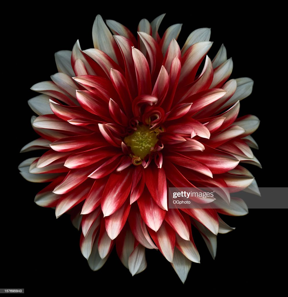 Red and White dahlia : Stock Photo