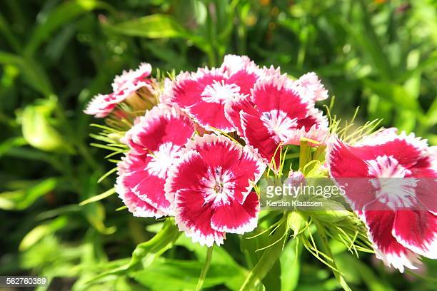Sweet william flower stock photos and pictures getty images red and white dianthus barbatus sweet william mightylinksfo
