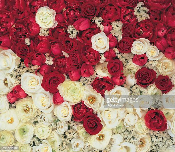 Red and White Roses, Full Frame Taken Fom Directly From Above