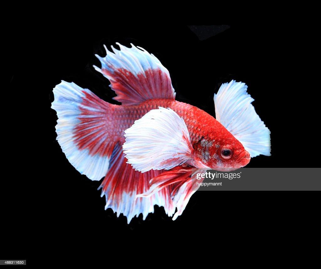 Red And White Siamese Fighting Fish Betta Fish Isolated Stock Photo ...