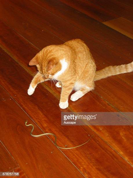 Red and white tabby cat Felis catus playing with a snake on indoor wooden step Brisbane Queensland Australia
