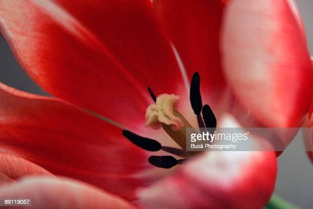 red and white tulip flower, macro - おしべ ストックフォトと画像