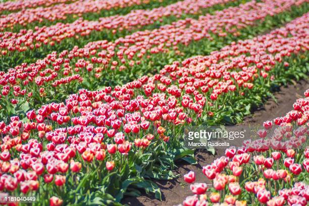 red and white tulip flowers - radicella stock photos and pictures