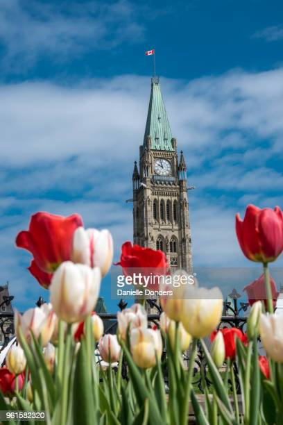 Red and white tulips in front of the Peace Tower during the Tulip Festival in Ottawa