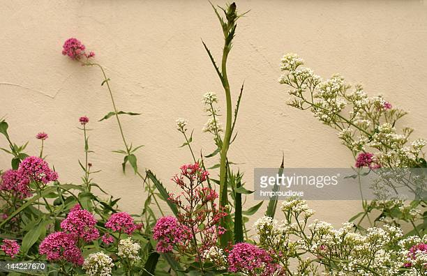red and white valerian - valerian plant stock pictures, royalty-free photos & images