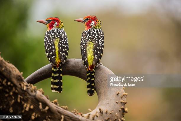 red and yellow barbet (trachyphonus erythrocephalus) - africa stock pictures, royalty-free photos & images