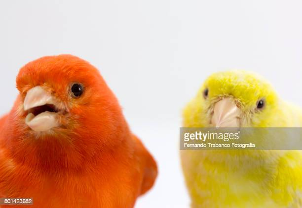 Red and yellow birds, canary