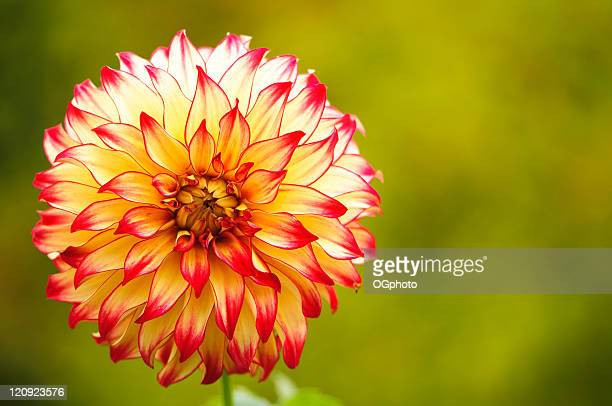 red and yellow dahlia - ogphoto stock pictures, royalty-free photos & images