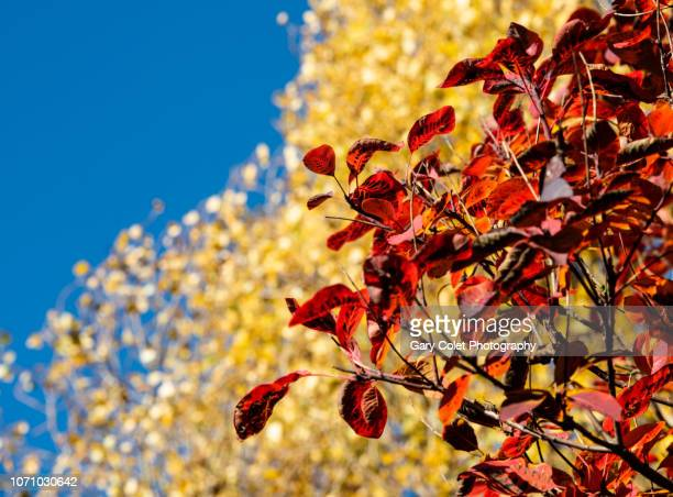 red and yellow fall leaves against a bright blue sky - gary colet stock pictures, royalty-free photos & images