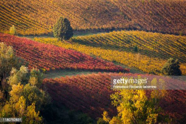 red and yellow geometric vineyards on a hill in autumn, scenic landscape. - エミリア・ロマーニャ ストックフォトと画像