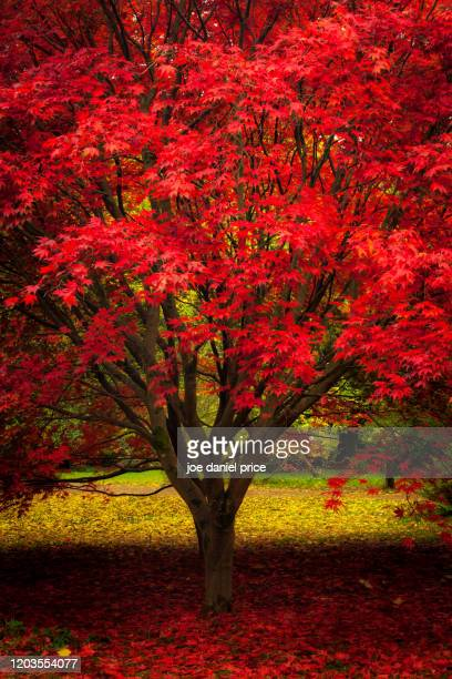 red and yellow, japanese red maple, herefordshire, england - scenics stock pictures, royalty-free photos & images