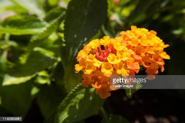 Red and yellow Lantana Camara flower.