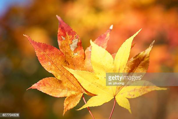 Red and yellow leaf on autumn season