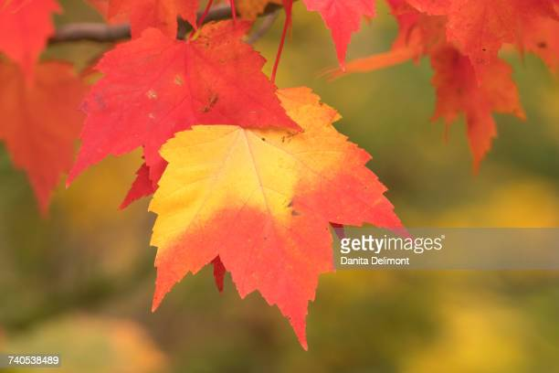 red and yellow maple (acer)leaves on tree, porcupine mountains wilderness state park, keweenaw peninsula, michigan, usa - parque estatal de porcupine mountains wilderness fotografías e imágenes de stock