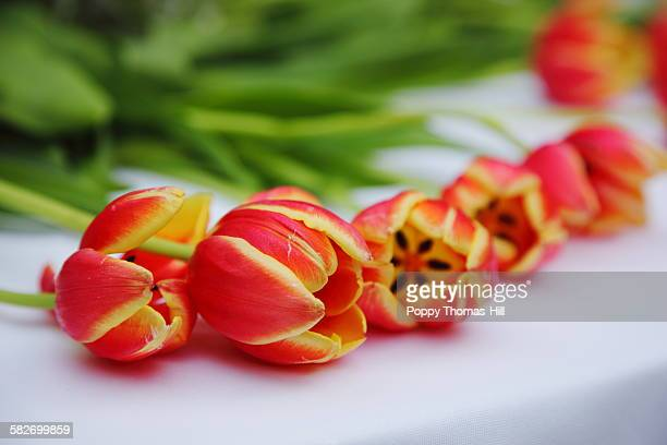 red and yellow tulips - utah wedding stock pictures, royalty-free photos & images