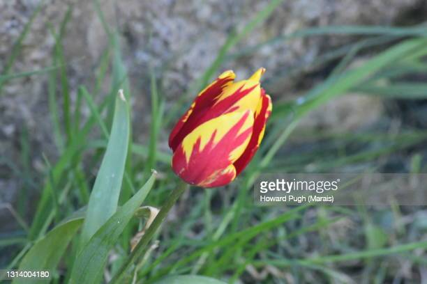 red and yellow wild tulip - howard pugh stock pictures, royalty-free photos & images