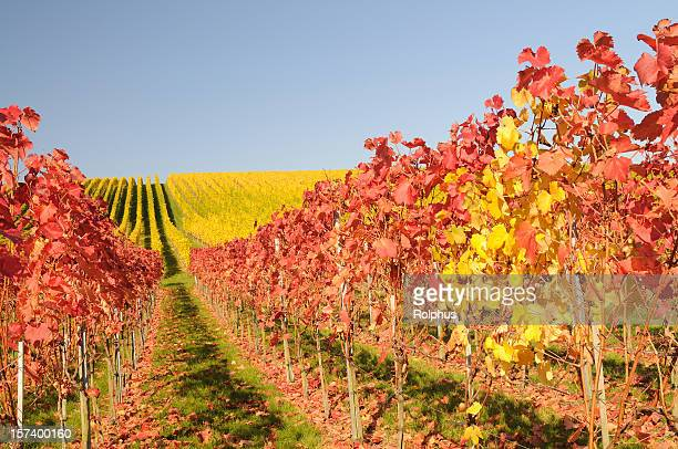red and yellow wine grapes in fall right - sonnig stock pictures, royalty-free photos & images