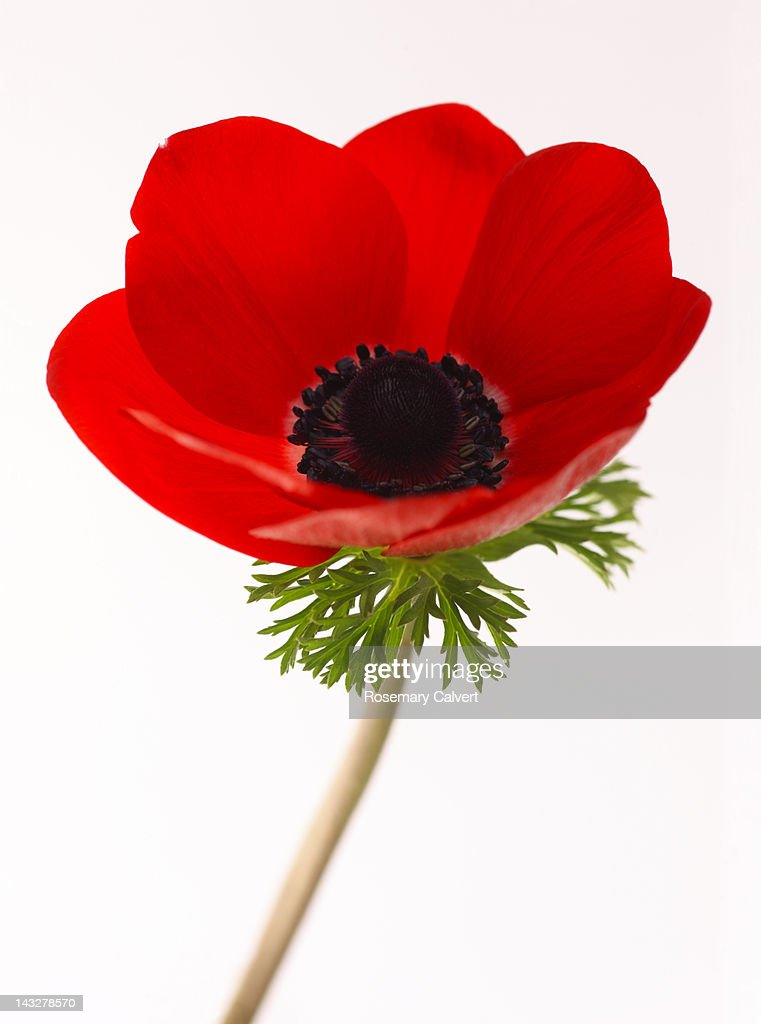 Red anemone flower (anemone coronaria) in close-up : Stock Photo