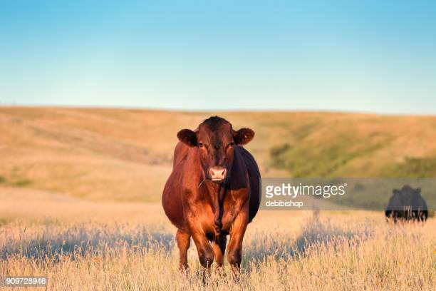 Red Angus cow standing in golden grass on a Montana ranch looking toward camera view.