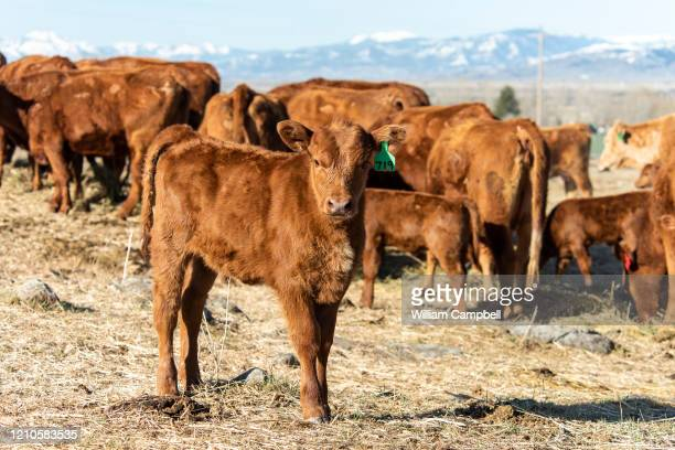 Red Angus cows and calves after feeding on Martin Davis's ranch on April 21 2020 in Paradise Valley near Livingston Montana