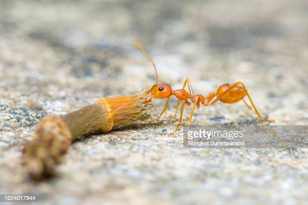 Red ant carry a piece of wood branch to nest on ground. Strong ant hardworking