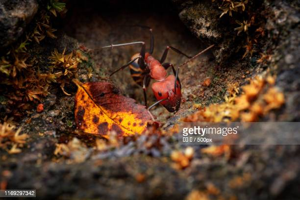 Red ant going out of hole in ground