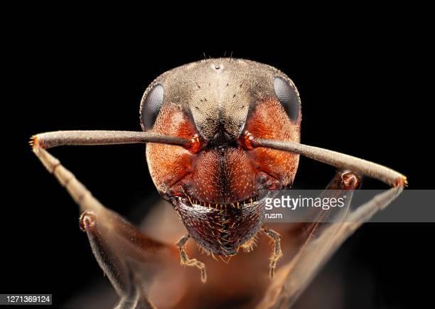 rote ameise unter mikroskop portrait, isoliert auf schwarzem hintergrund - insekt stock-fotos und bilder