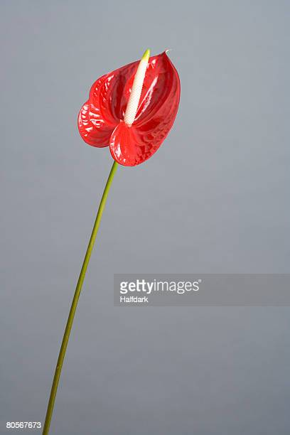 Red Anthurium (Anthurium andreanum)