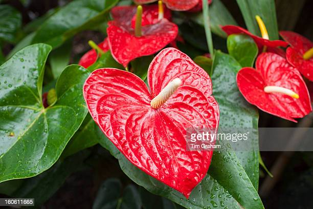 Red Anthurium Tropical Plant
