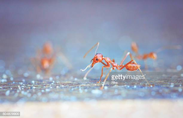red ants are working - wilde tiere stock pictures, royalty-free photos & images
