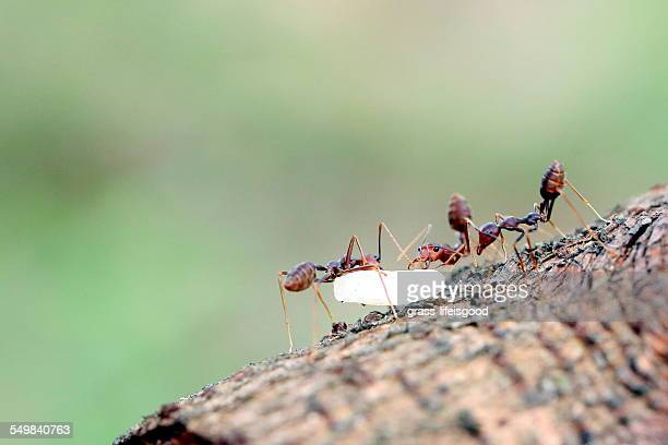 Red Ants Carrying Rice